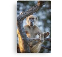 Too Laid Back – Adult Male Baboon Canvas Print