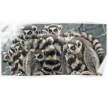 Ring -Tailed Lemur Poster
