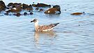 Juvenile Pacific Gull  - Pt. Fairy,  Victoria,  Australia by Lynne Kells (earthangel)