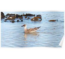 Juvenile Pacific Gull  - Pt. Fairy,  Victoria,  Australia Poster