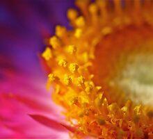 Sweet Sunshine: Everlasting Daisy by SunshineKaren