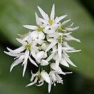 Sweet flower, strong odour. by Dennis the Elder