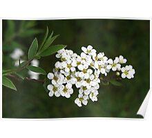 April White blossoms Poster