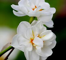 Narcissus (Paperwhite) by AnnDixon