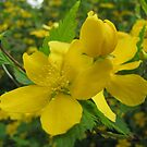 Kerria japonica by orko