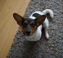 jack russel dog by craig wilson