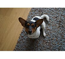 jack russel dog Photographic Print