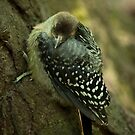 Baby Red Bellied Woodpecker by Joe Jennelle