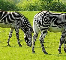 Zebras at Chester Zoo by Paula J James