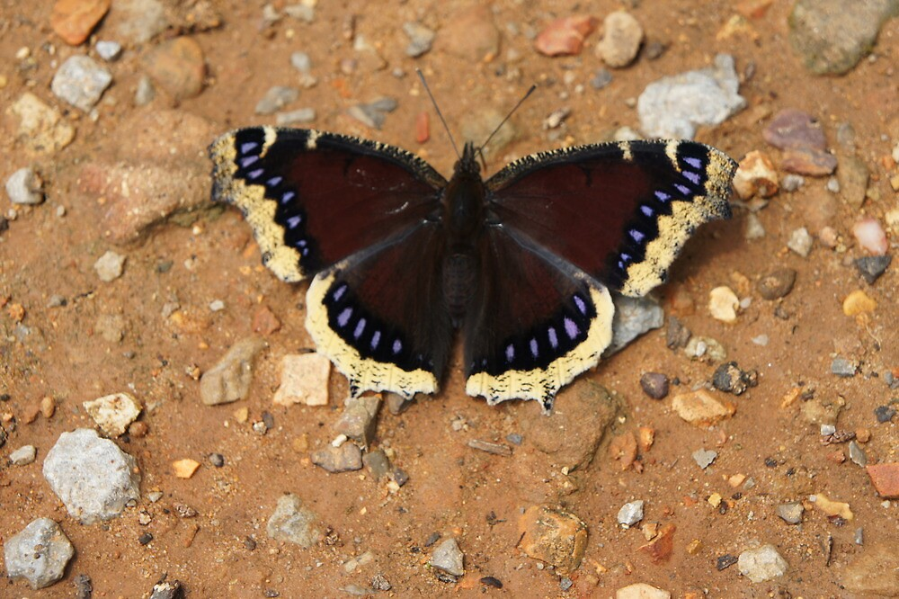 Mourning Cloak by TxGimGim