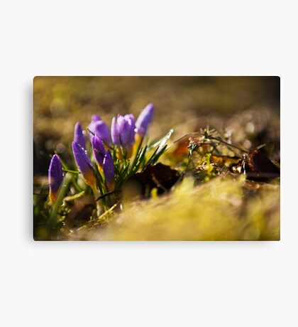 Crocuses in morning light Canvas Print