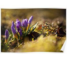 Crocuses in morning light Poster