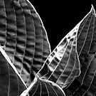hosta in black and white by Richard George