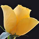 The Yellow Rose by ColinKemp