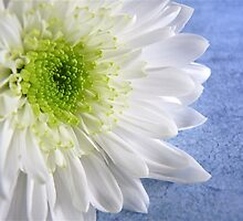 White Chrysanthemum  by SunshineKaren