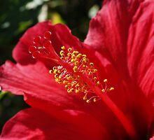 Hibiscus on Madeira by AnnDixon