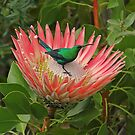 Decorating a protea by Dan MacKenzie