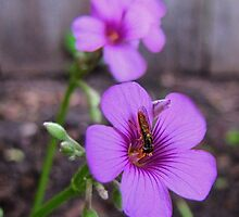 Beautiful Bee on Oxalis Flower by aprilann