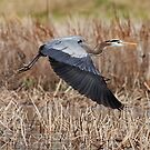 Great Blue Heron Take-Off by Bill McMullen