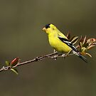 Spring Goldfinch by Bill McMullen