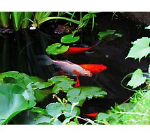(Not So) Coy Koi Photographic Print