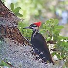 Pileated In The Moss by Deborah  Benoit