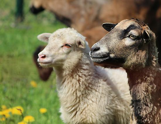 Spring Meadow & Sheep by karina5