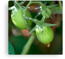 From My Garden - Green Roma Tomatoes Canvas Print