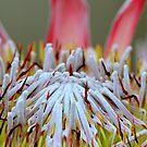 Protea Macro by Alison Hill