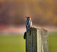 Yellow Bellied Sapsucker by Richard Lee