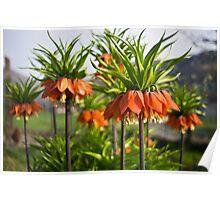 Fritillaria Poster