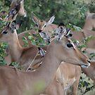 Impalas by Anita Deppe