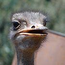 Ostrich by Anita Deppe