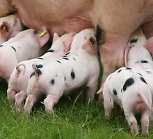 Little Piggies,  by John Lines