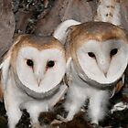 Baby Barn Owls by AeronJohn