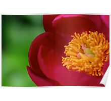 Peeking In A Peonie Poster