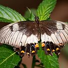 Orchard Swallowtail Butterfly, Northern Territory, Australia by Erik Schlogl