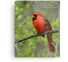 Northern Cardinal in Spring Metal Print