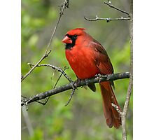 Northern Cardinal in Spring Photographic Print