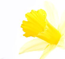 Daffodil by HAPhotography
