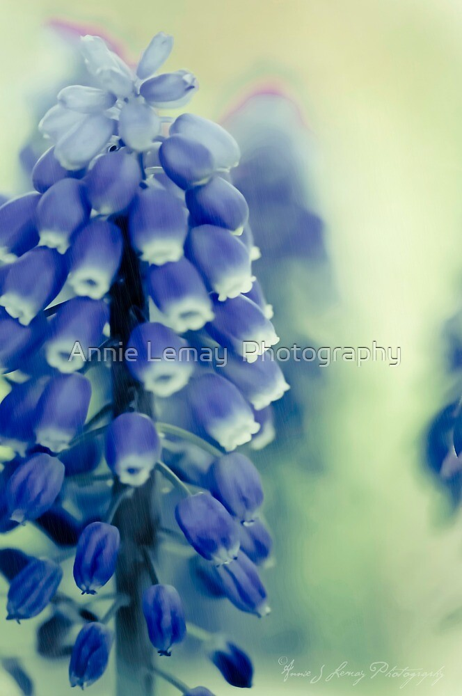 Grape Hyacynths in Blue by Annie Lemay  Photography