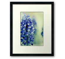 Grape Hyacynths in Blue Framed Print