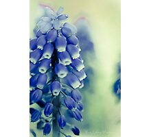 Grape Hyacynths in Blue Photographic Print