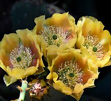 Blind Prickly Pear - Opuntia rufida by Saija  Lehtonen
