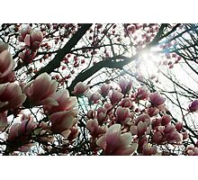 Looking up through Magnolia Tree Photographic Print