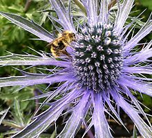 Sea Holly - Blue Glitter by Julie Van Tosh Photography