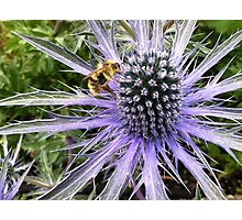 Sea Holly - Blue Glitter Photographic Print