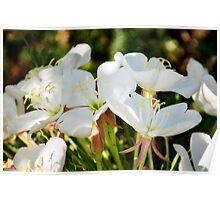Fragrant Evening Primrose-Oenothera caespitosa Poster