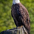 Regal Eagle by Michael  Moss