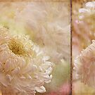 Chrysanthemum by Margi